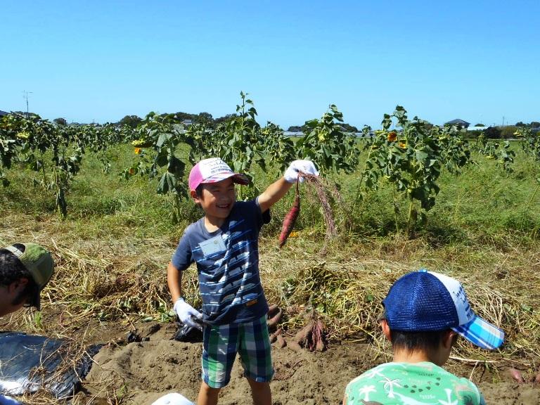 サツマイモ掘り。子どもたちも大活躍!