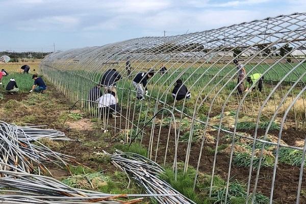被害に遭ったビニールハウスのネギ収穫(10月26日)