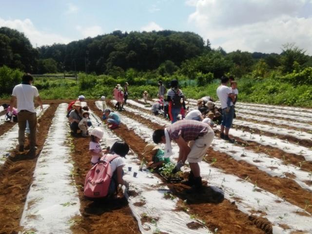 秋野菜の苗/・1200苗が植え付けられました