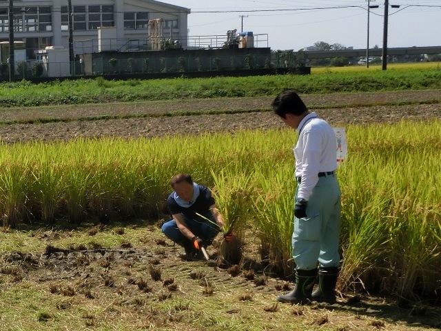 JA埼玉中央の皆さんより稲刈りの仕方を教わりました