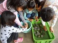 乾燥を防ぐために種イモの切り口に灰をつけます。子どもたちも大活躍!