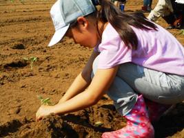 ブロッコリーの定植。みんなで協力をして真っ直ぐ苗が並ぶように植えていきました。