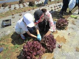 お土産用に大きなサニーレタスを収穫しました。