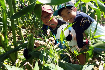 トウモロコシ畑での収穫