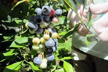 畑のブルーベリーの実