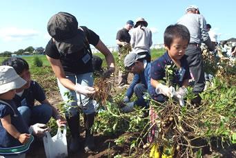 落花生おおまさかりを収穫している写真