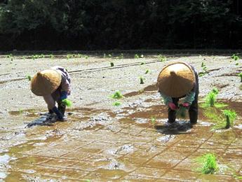 田植え生産者見本の写真