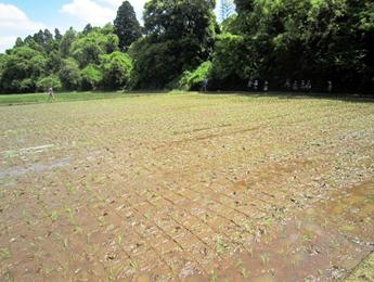 田植え終了の田んぼの写真