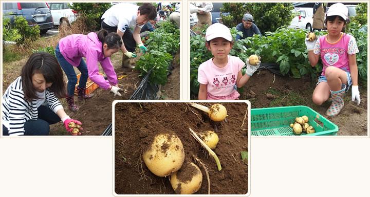 ジャガイモの収穫の写真